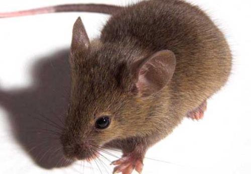 老鼠防治處理